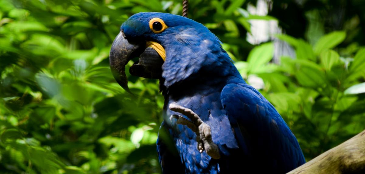Foto: Mateus Campos Felipe. Arara azul com a pata esquerda levantada sobre um fundo de vegetação
